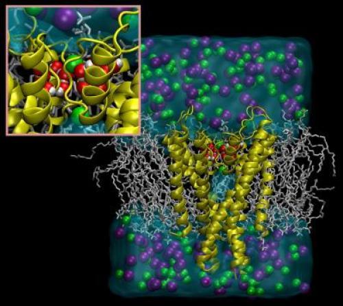 Молекулы воды контролируют инактивацию и восстановление калиевых каналов