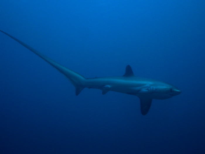 thresher-shark-Акула-лисица-3